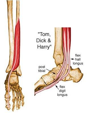 posterior tibialis